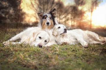 Drei Hunde liegen entspannt auf einer Wiese