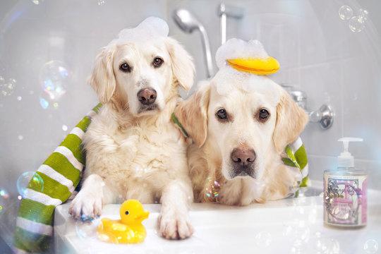 Zwei Hunde in der Badewanne mit Ente und Schaum auf dem Kopf