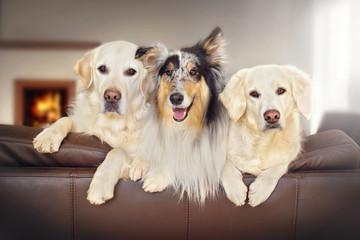 Drei Hunde sitzen auf dem Sofa im Wohnzimmer