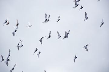 Pigeons flying in the herd
