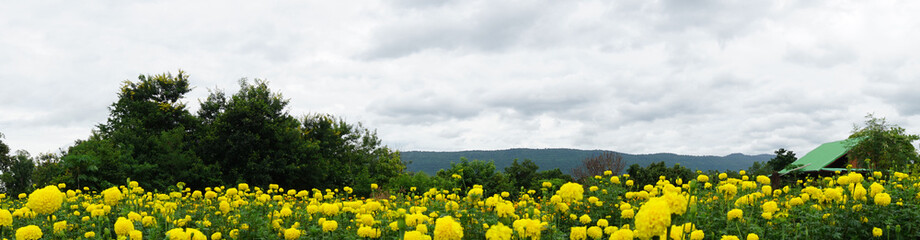 panorama landscape yellow marigold flower field on mountains background,Copy Space.