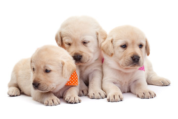 Three labrador puppy girls showing their adorable look