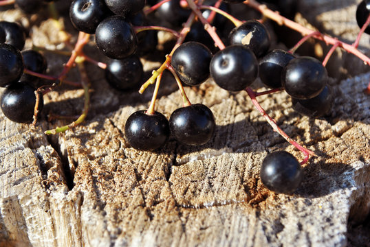 Prunus padus (bird cherry, hackberry, hagberry, Mayday tree) black berries  on gray poplar bark background, top view, close up detail