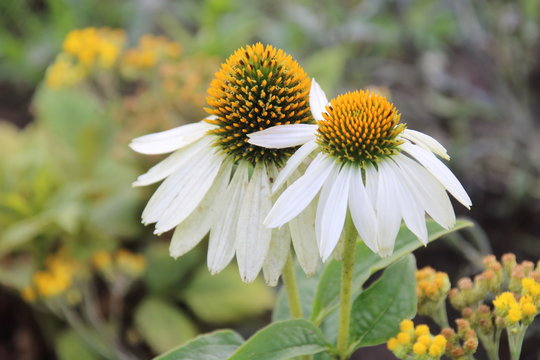 Echinacea , a North American genus in the Daisy family, has big, bright flowers that appear in late June and keep coming into September.
