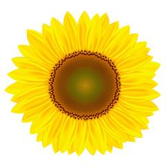 Beautiful sunflower. Sunflower close-up. Field with sunflowers. Sunflower close-up on a white background. Sunflower vector.