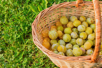 yellow plums in a wicker basket