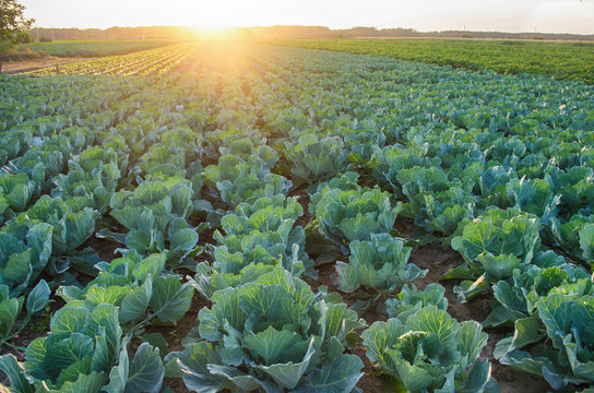 cabbage plantations grow in the field. vegetable rows. farming, agriculture. Landscape with agricultural land. crops