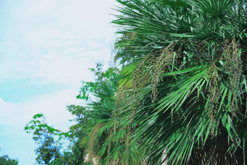 The seeds of the old palm will give you a more beautiful color than the new one with only one green.