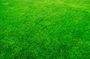 Green grass, lawn texture