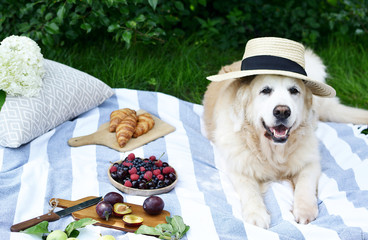 Aluminium Prints Picnic Picnic with Dog Golden Retriever Labrador Instagram Style Food Fruit Bakery Berries Green Grass Summer Time Rest Background Sunlight