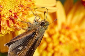 Chrysanthemum & Butterfly