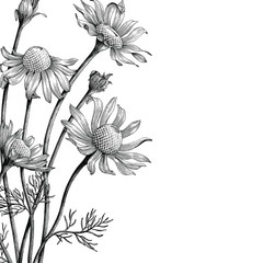 Chamomile flowers hand draw vintage clip art for book cover