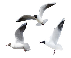 three black-headed small gulls in flight cutout