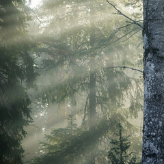 Early morning in foggy forest landscape. Sun rays in mist.