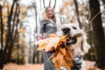 Fun walking in the autumnal park. Cropped image of golden retriever is holding a bouquet when his owner in the background.