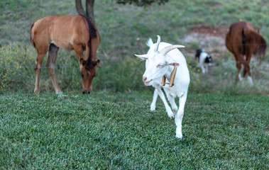 Young White Goat And Horses 1