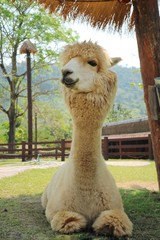 A cute light brown alpaca lying on green grass in the farm with relax and enjoy. Animal concept.