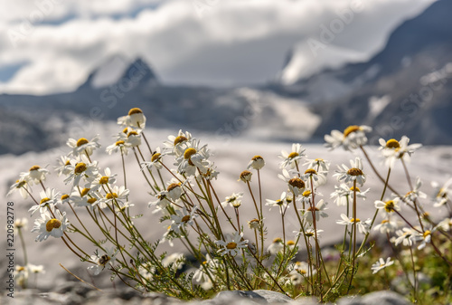 chamomile glacier mountains flowers snow