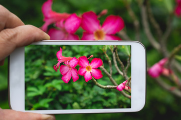 Closeup hand holding smartphone to take a photo flower in garden.