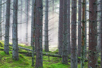 Keuken foto achterwand Bos in mist Mist in the coniferous forest