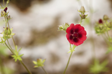 Potentilla red flower