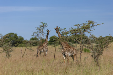 Two Giraffes in the Serengeti
