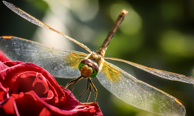 Closeup a green dragonfly Calopteryx virgo on green leaf background