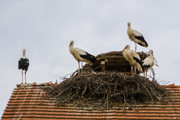Five curious storks standing on rooftop in nest