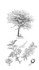Illustration of tree