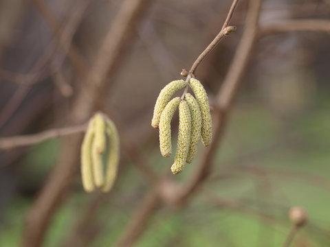 Corylus avellana. Inflorescences du noisetier