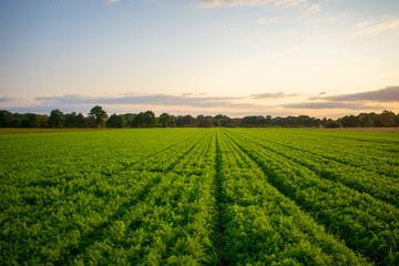 Bauernschaft mit Erntereifen Karottenfeld bei Abendlicht. Standort: Deutschland, Nordrhein - Westfalen, Borken