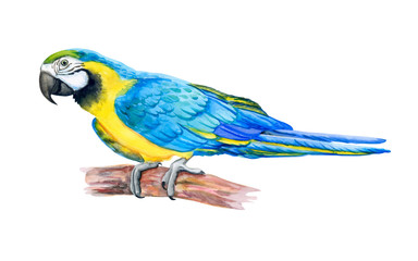Macaw Blue-and-yellow. Parrot Flying. Watercolor. Illustration. Handmade. Template