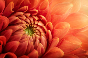 Printed kitchen splashbacks Macro photography Colorful chrysanthemum flower macro shot. Chrysanthemum flower background.