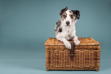 Collie Crossbreed Dog in Studio Lying on Wicker Basket
