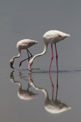 Double Vision - Two greater flamingos lower their long necks to forage in the waters of Lake Nakuru. Lake Nakuru national park, Kenya, Africa.