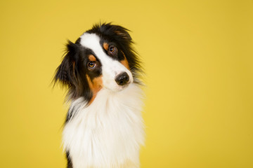 Happy Australian Shepherd Dog Portrait on Yellow Studio Background