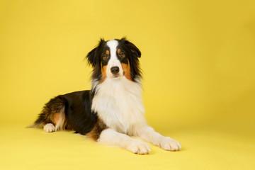 Happy Australian Shepherd Dog Portrait on Yellow Studio Background
