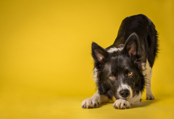 Happy Black and White Border Collie Dog Portrait on Yellow Studio Background