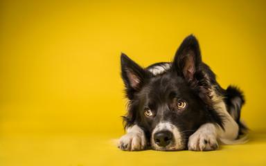 Happy Black and White Border Collie Dog Portrait on Yellow Studio Background