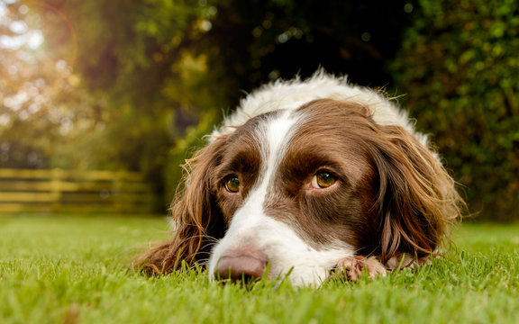 Spaniel Portriat Outdoor in Countryside