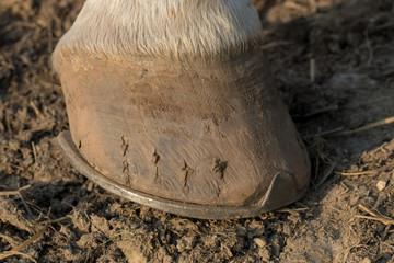 podkute końskie kopyto
