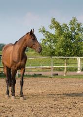 młody koń gniady