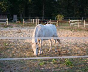 Pferde auf der Koppel beim Grasen. Standort: Deutschland, Nordrhein - Westfalen, Borken