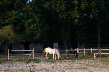 Pferde beim Grasen. Standort: Deutschland, Nordrhein - Westfalen, Borken