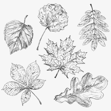 ПечатьSet of tree leaves. Hand drawn autumn elements.Maple . Leaf and samara. Description: Each drawing comprise of one color