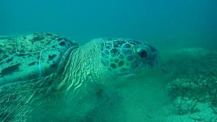 013 Portrait Of Green Sea Turtle Chelonia Mydas That Chews Seagrass On A Sandy Bottom