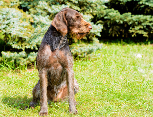 German Wirehaired Pointer looks to the left.  The Drahthaar seats on the green grass.