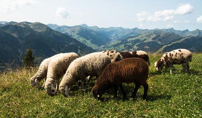 Schafe, Pinzgau Österreich