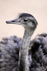 Portrait of female grey greater rhea (Rhea americana)