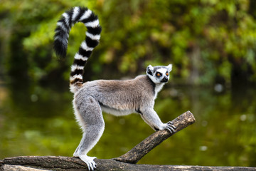 ring tailed lemur on branch of tree Wall mural